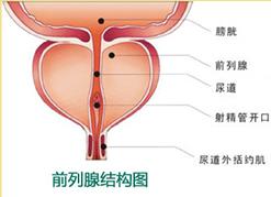 前列腺结构图